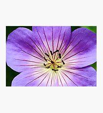 Perennial Geranium Flower Macro Photographic Print