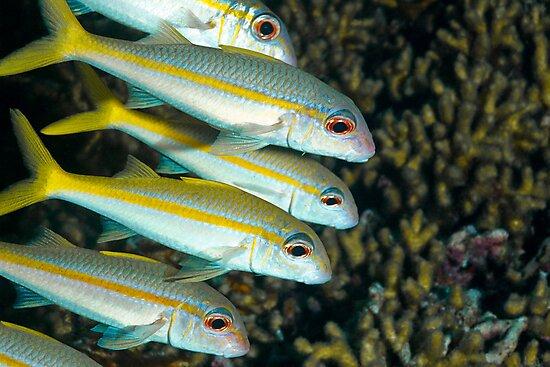 Yellowfin Goatfish by KSBailey