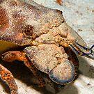 Slipper Lobster by KSBailey