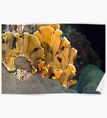 Fire Coral Poster