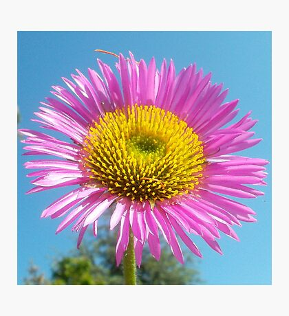 Pink flower against blue sky Photographic Print