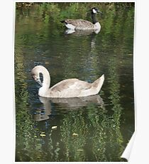 Goose and Swan Poster