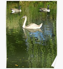 Two Geese and Swan Poster