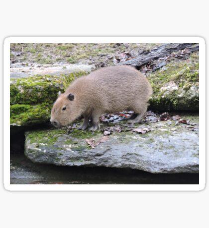 Baby Capybara Sticker