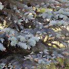 Dappled Sunlight Thru a Blue Spruce  by Sandra Lee Woods