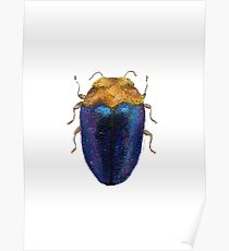 Trachys - Jewel Beetle Poster
