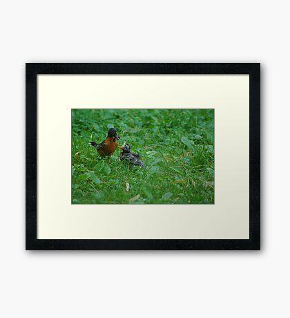 Feeding Baby Robin Framed Print