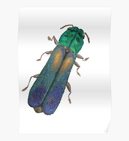 Xenorhipus - Jewel Beetle Poster