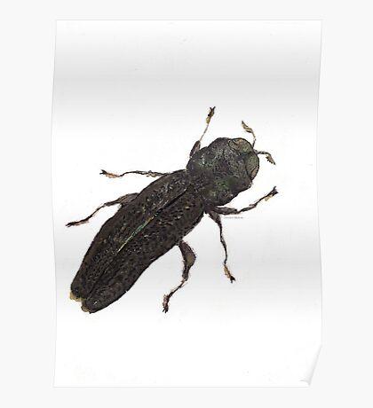 Paragrilus - Jewel Beetle Poster