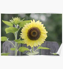 Silky Yellow Sun Poster