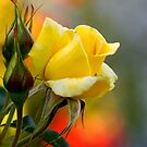 yellow rose... by Allan  Erickson