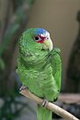 Spectacled Amazon Parrot by Elaine Teague