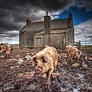 Island Piggies by hebrideslight
