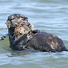 Sea otter baby by Anthony Brewer