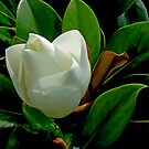 Magnolia........  a tree of beauty and fragrance by Brenda Dow