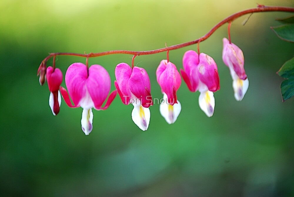 Bleeding Hearts  by Tori Snow