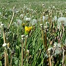 sea of dandelions by NordicBlackbird