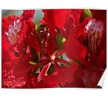 Close Up - Flamboyant II - Primer Plano   Poster