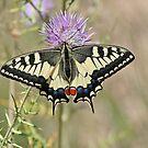 Swallowtail Butterfly by Robert Abraham