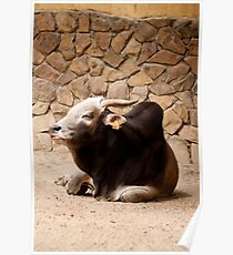 Zebu cattle Poster