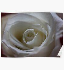 White rose for June Poster