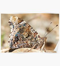 Painted Lady (Vanessa cardui) Poster