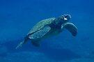 Ascending Hawaiian Green Sea Turtle by thatche2