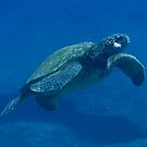 Ascending Hawaiian Green Sea Turtle by thatche2