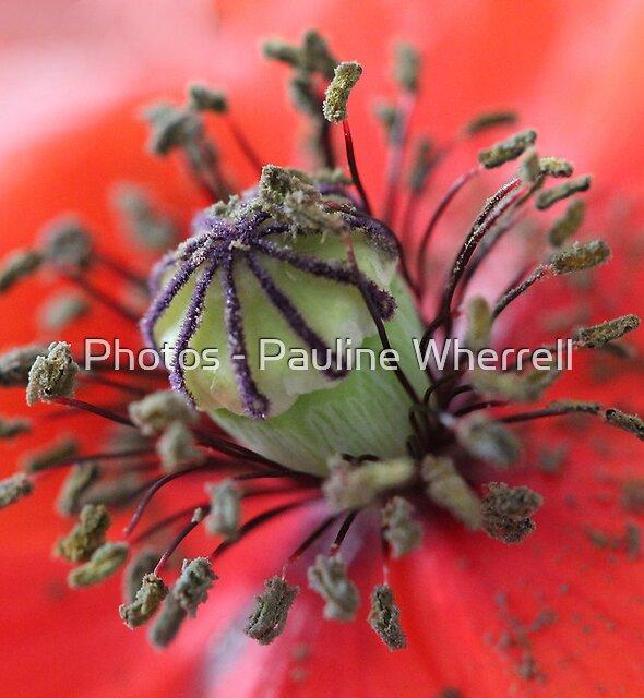 Wild poppy centre details by Photos - Pauline Wherrell