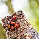 Ladybugs - Odd one Out by Vicki Field