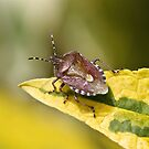 Sloe Bug by dilouise