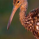 Limpkin In Sweet Light. by Daniel Cadieux
