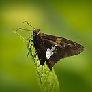 Cantigny Red Admiral by Anthony Roma