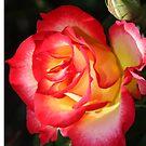 Rose01, by Daniel H Chui