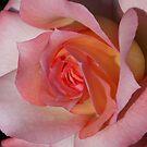 Rose02 by Daniel H Chui
