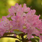 Rhododenron by roumen