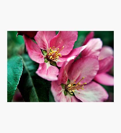 Cherry Blossoms, West Coast USA  Photographic Print