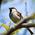 House Sparrow by Ben Marshall
