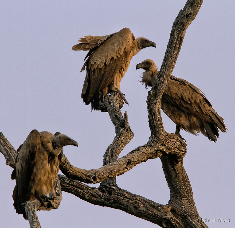 Vulture Trio by Michael  Moss