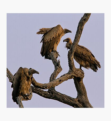 Vulture Trio Photographic Print
