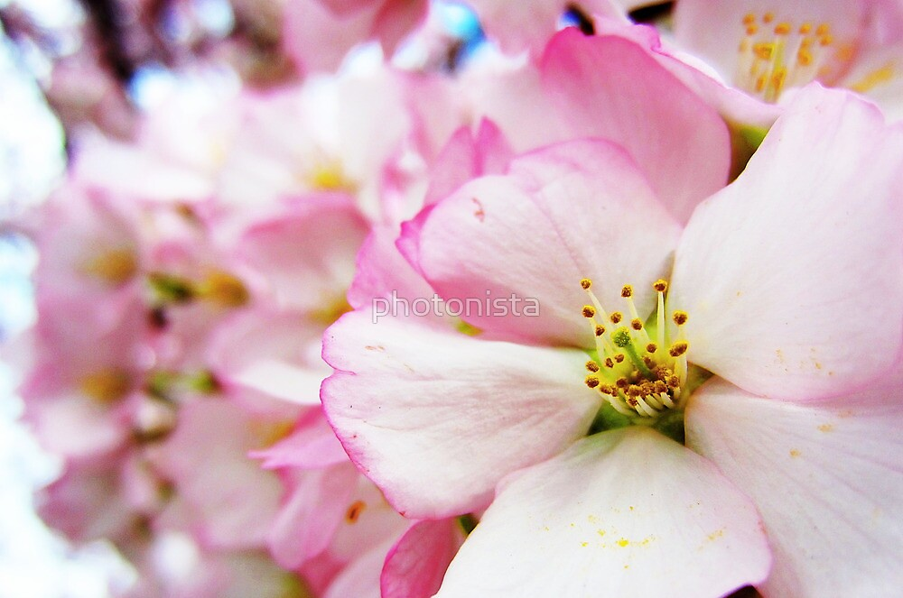 Cherry Blossoms 7 by photonista