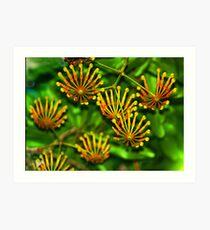 Firewheel Tree - Stenocarpus sinuatus Art Print