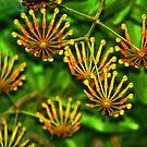 Firewheel Tree - Stenocarpus sinuatus by Bev Pascoe