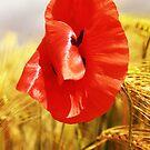 Poppies in the cornfield by Falko Follert