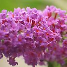Butterfly Bush by Lorelle Gromus