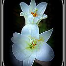 Easter Lillies by Laurie Perry