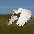 Cattle Egret, Florida. by Daniel Cadieux