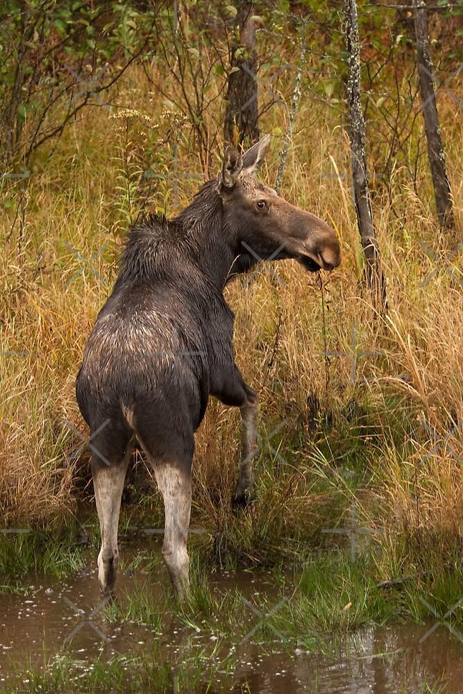 I'm outa here - Moose, Algonquin Park, Canada by Jim Cumming
