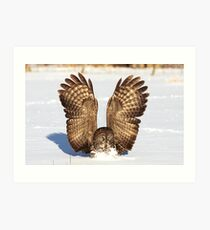 Caught - Great Grey Owl Art Print