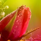 raindrops on a rosebud by lensbaby